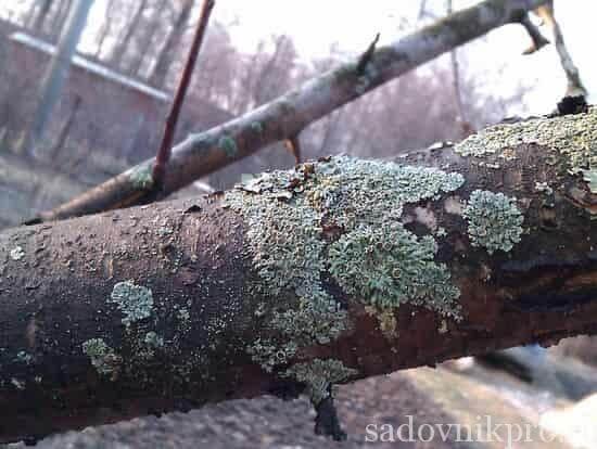 как избавиться от лишайников на дереве