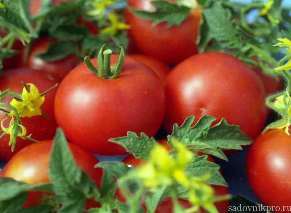 посадка помидоров